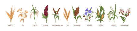 Cereal plants such as barley, rye, corn, buckwheat, flax, oat, proso, quinoa, rice, siberian millet and sorghum. Spikelets of organic crops. Colored vector illustration isolated on white background Ilustração Vetorial