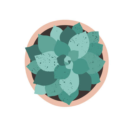 Top view of potted echeveria with bunch of fleshy leaves. Beautiful southern succulent in flowerpot. Interior plant isolated on white background. Flat textured vector illustration
