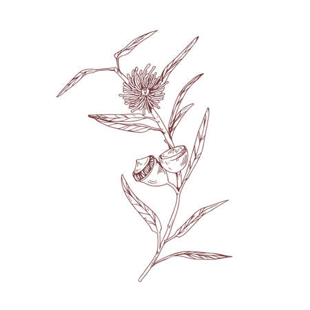 Outlined drawing of blooming eucalyptus flower with blossomed and unblown buds. Vintage botanical art isolated on white background. Hand-drawn floral vector illustration in retro style