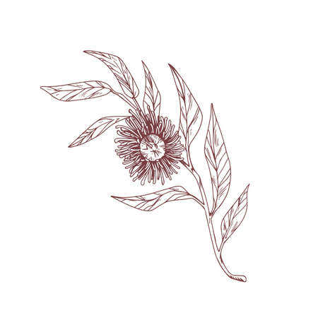 Blooming eucalyptus flower isolated on white. Vintage drawing of botanical element with blossomed bud and leaves. Hand-drawn contoured vector illustration of eucalypt branch