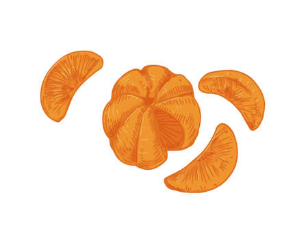 Peeled tangerine with mandarin segments or slices. Composition of clementine pieces without skin. Realistic hand-drawn vector illustration of exotic citrus isolated on white background