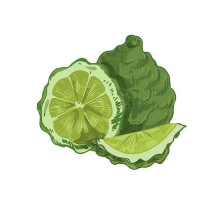 Whole fruit, slice, segment and half of tropical bergamot. Composition of fragrant green citrus. Realistic hand-drawn vector illustration of aromatic exotic food isolated on white background