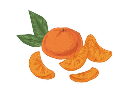 Whole tangerine with peeled slices of mandarin. Composition with fruit, pieces and leaves of clementine. Realistic hand-drawn vector illustration of exotic citrus isolated on white background