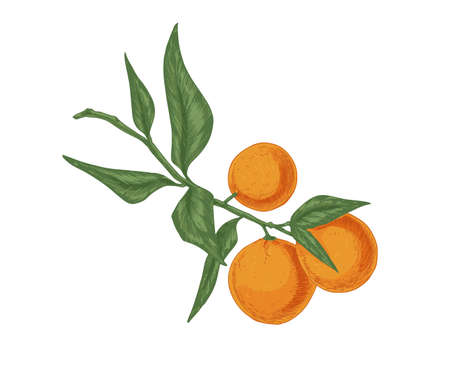 Leaves and fruits of tangerine growing on mandarin tree branch. Fresh ripe clementines on twig. Realistic hand-drawn vector illustration of exotic citrus isolated on white background