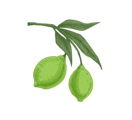 Leaves and green citrus fruits growing on lime tree branch. Tropical fragrant food on sprig. Realistic hand-drawn colored vector illustration of exotic plant isolated on white background Ilustrace