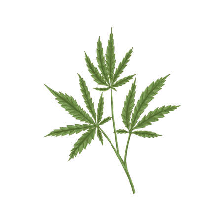 Cannabis plant with leaf. Marijuana or hemp branch with leaves. Vintage botanical art. Realistic hand-drawn vector illustration of medical marihuana isolated on white background