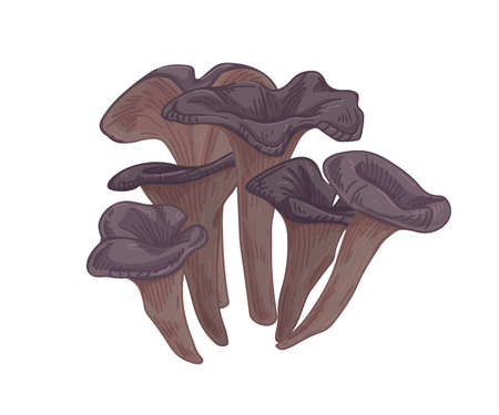 Black chanterelle or trumpet mushroom. Group of forest edible fungi. Realistic raw fungus. Fresh natural food. Colored hand-drawn vector illustration isolated on white background