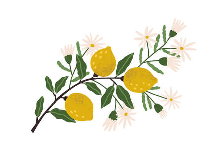 Blooming lemon tree branch with yellow citrus fruits, blossomed flowers and leaves. Plant with ripe fruitage. Modern botanical flat graphic vector illustration isolated on white background Vektorgrafik