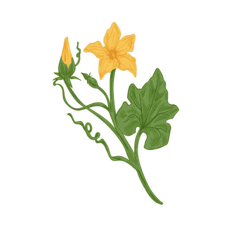Blossomed and unblown flower buds on cucumber or pumpkin plant with stem and leaves. Detailed vintage-styled botanical drawing. Colored hand-drawn vector illustration isolated on white background