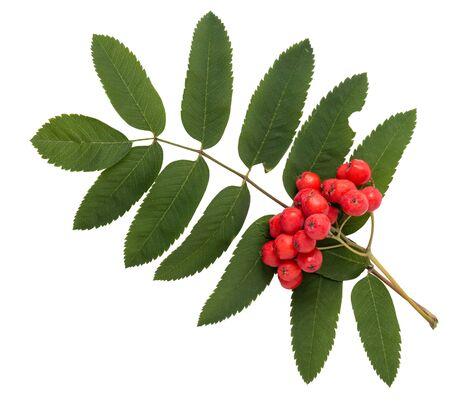 bunchy: manojo de rowanberries con las hojas aisladas sobre fondo blanco Foto de archivo