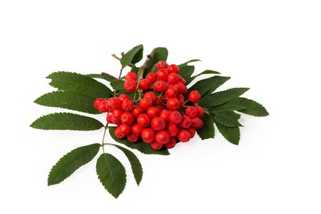 bunchy: bunch of rowanberries with leaves isolated on white background Stock Photo