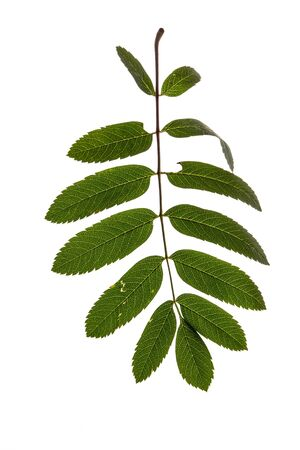 sorb: rowan leaves isolated on white background