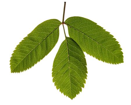 bunchy: rowan leaves isolated on white background