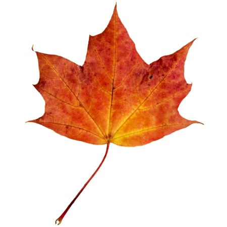 red maples: autumn maple leaf isolated on white background