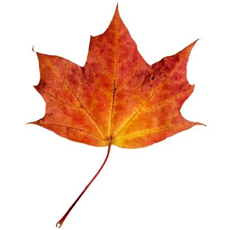 maple leaf: autumn maple leaf isolated on white background