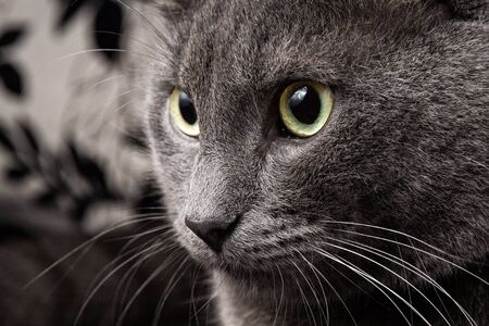portrait of russian blue cat closeup photo