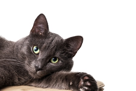 lying russian blue cat with white copy space photo