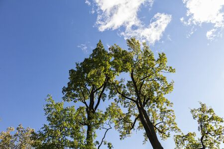 growing together: two oaks growing together against blue sky Stock Photo