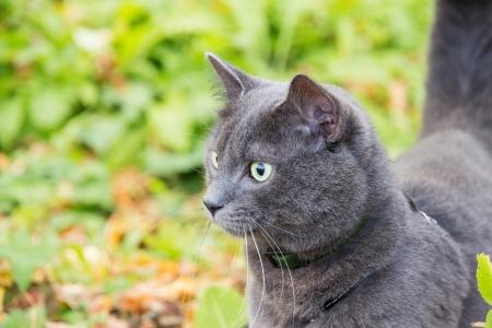 russian blue: cute russian blue cat outdoor in harness
