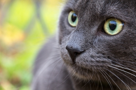 cute russian blue cat outdoor close up photo