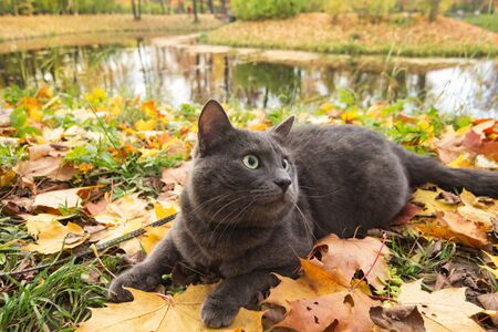 cute russian blue cat outdoor in harness photo