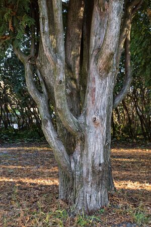 interesting structure of thuja trunk close up photo