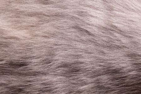 russian blue: Russian blue cat fur close up shot