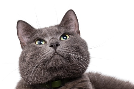 russian blue: cute russian blue cat with white copyspace Stock Photo