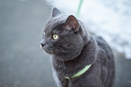 russian blue cat outdoors in harness, selective focus photo