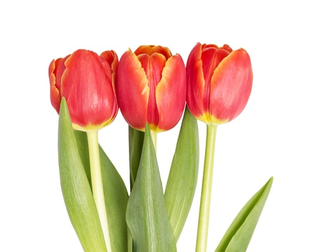 three beautiful tulips, isolated on white background photo