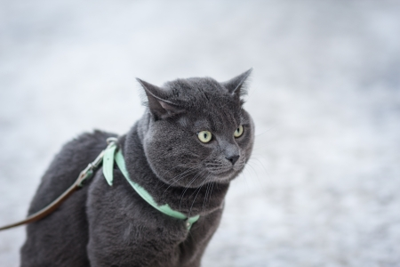portrait of suprised russian blue cat outdoor, in harness selective focus photo