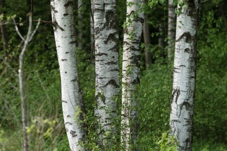 birch trees in the park, tranquil scene photo