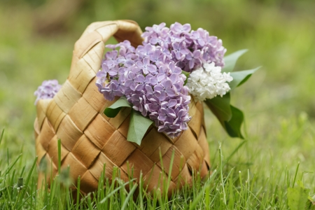 lilac flowers in birchbark basket on grass, selective focus photo