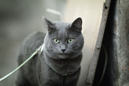 young british cat walking towards camera, shallow depth of field photo