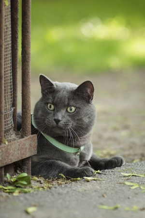 portrait of young british cat siting on walkway, vertical photo