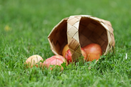 birchbark: birchbark basket full of gala apples, on fresh grass