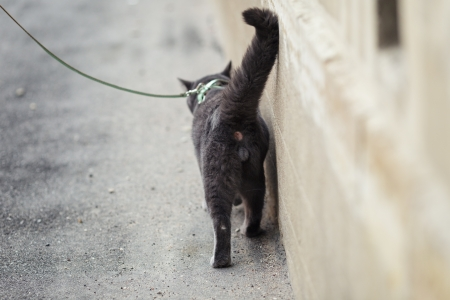 young british cat walking away, shallow depth of field photo