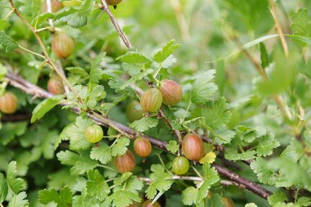 gooseberry bush: organic gooseberries on the bush, natural sunlight
