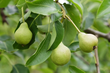 growing pears on the tree, organic food photo