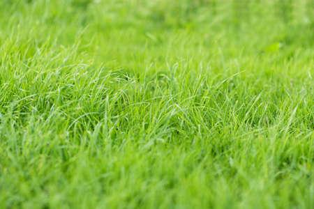 wild fresh grass on the field, close up photo