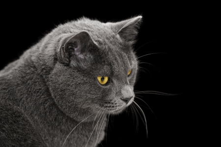 british shorthair cat looking back, on black background photo