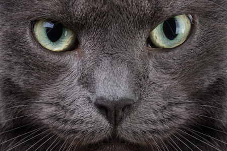 close up portrait of british cat, serious look photo