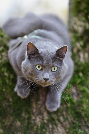 british shorthair cat climbing on the tree, hunting photo