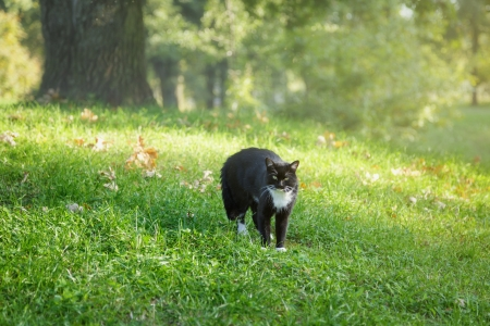 defensive posture: black and white cat in warning position, outdoor Stock Photo