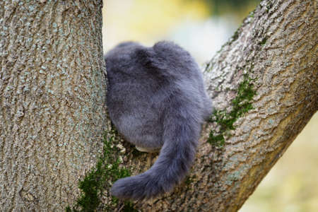 british shorthair cat climbing on the tree, from back photo