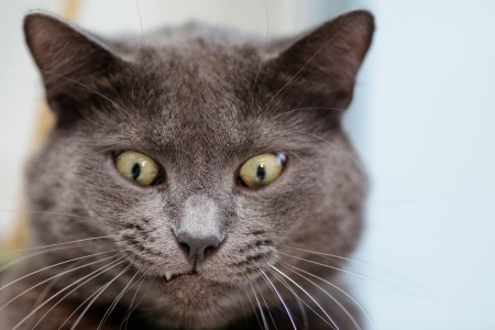 fuuny cat face, british shorthair cat close up photo