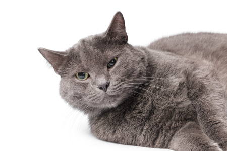 Young adult british shorthair cat with green eyes, portrait white background photo