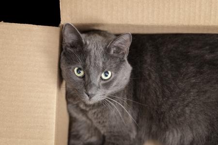 nepeta cataria: gatto British Shorthair nella scatola, piuttosto cercando Archivio Fotografico