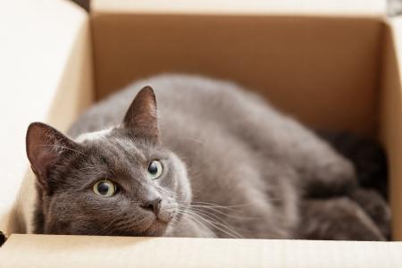 catnip: british shorthair cat in the box, pretty looking Stock Photo