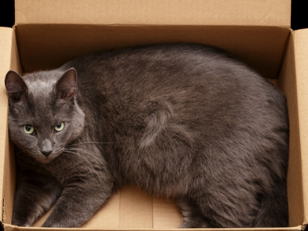 catnip: british shorthair cat in the box, pretty looking Stock Photo